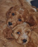 Cockapoo Puppies Snuggling by Just--Saying