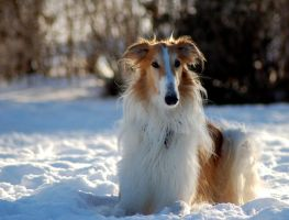 Rozz the borzoi by felill