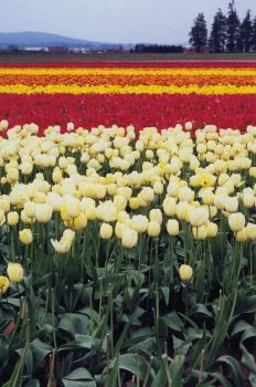 tulip festival 4 by JensStockCollection