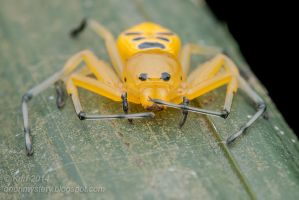 Eight-spotted Crab Spider ( MG 4293 copy) by orionmystery