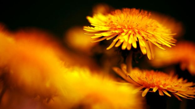 Dandelion by Desktopconditioner