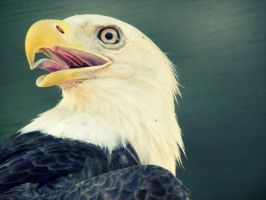 bald eagle by h20baby93