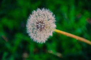 Dandelion by Natures-Studio