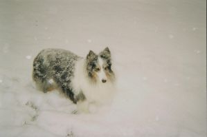 Carlie Snow Angel by StormTheBorderCollie