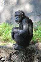 Chimp 13 by SBG-CrewStock