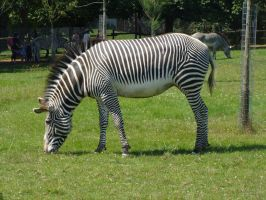 zebra by tightlippedsmile