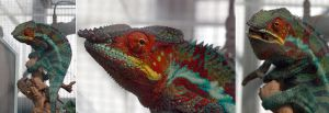 chameleon  3 shots by whynotastock