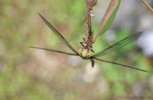dragonflies V by dianapple