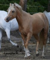 welsh cob 1 by equustock