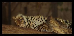 Lazy Leopard. by belialrage