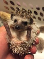 My Little Hedgie by Shadowluver1242