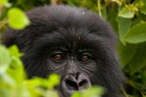 Mountain Gorilla 15 by catman-suha