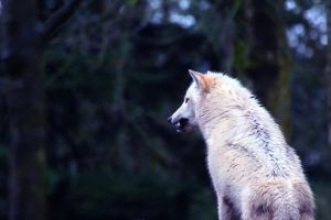 Snarling wolf by kmwphotography