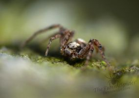Cute Crab Spider :3 by TheFunnySpider