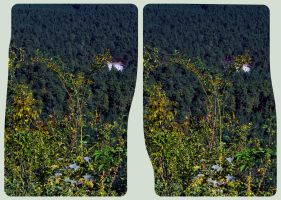 Dog rose 3D ::: HDR Cross View Stereoscopy by zour