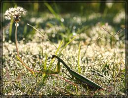Chinese Mantis 40D0027173 by Cristian-M