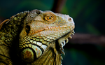 The Iguana by Moggen2