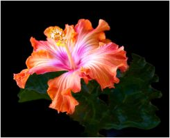 HIBISCUS 2 11 by THOM-B-FOTO
