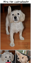 Mira the Labradoodle by Mikaley