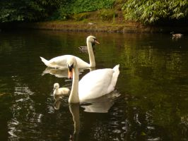 swan family-summer of swans by L-A-Addams-Art