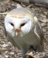 Barn Owl. by LidiaL