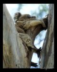 Sleeping Koala by sandyprints