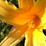 yellow Lily by Elara89
