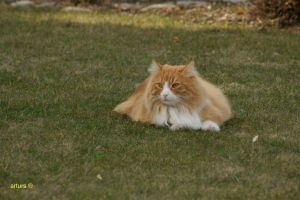 Norwegian Forest Cat by arturs23
