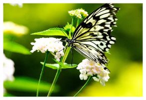 Butterfly by oliverco