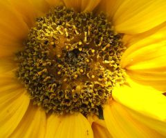 Macro Sunflower by siarwenevenstar