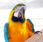 Parrots of the Caribbean 122 by aurora900