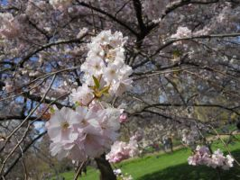 Cherry Blossoms 2 by AgtBauer24