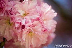 Pink Blossoms 4 by poetcrystaldawn