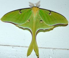 ..Luna Moth...just taken by duggiehoo