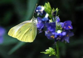 A cabbage White taking nectar by Mark-Allison