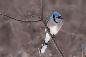 Blue Jay by MosesImages