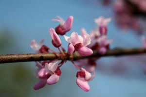 Redbud 1 by edgyqueen