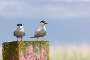 Common Tern pair by D-Maxey