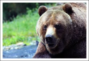 Grizzly by NitzkaPhotography