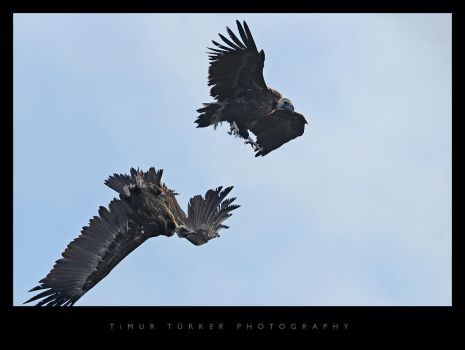 Black Vulture by Timur76