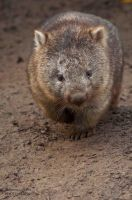 Wombat 2 by DanielleMiner