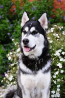 Beautiful Husky Dog by preciousvivien