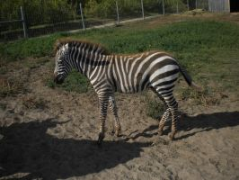 Zebra Foal 4 by EquideDesigns