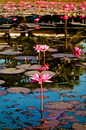 Water Lilies by MSQ100