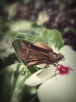 Moth and Flower +edit+ by mysteriousfantasy