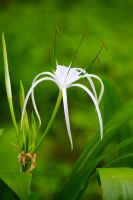 Spider Lily by VirtualZ