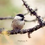 Marsh tit by Stefania-R