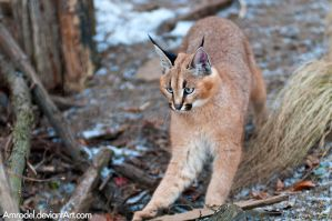 Little Caracal Got Alarmed by amrodel