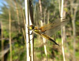 dragonfly at Kaisma by S2nder