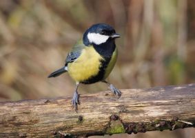 Parus-major-Great-Tit-01 by Paul-Gulliver